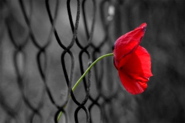 papavero fiore nella rete