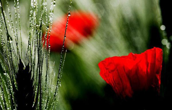 Ffiori rossi sfumati